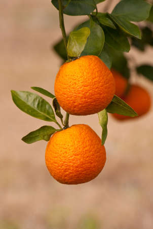citrus tree: Crop of bright oranges growing on the tree  Stock Photo