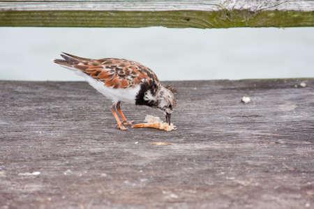Sanderling Bird eating shrimp on the pier Stock Photo