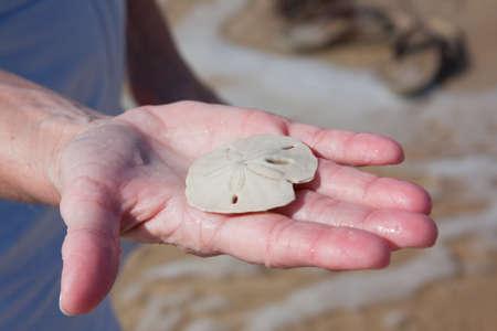 sand dollar: Woman holding a sand dollar found on the beach