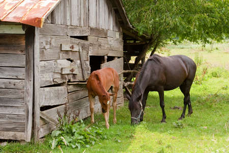 Horses eating grass by an old barn photo