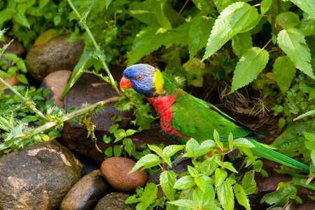 Rainbow Lorikeet bird standing on a rock watching Imagens - 11805509