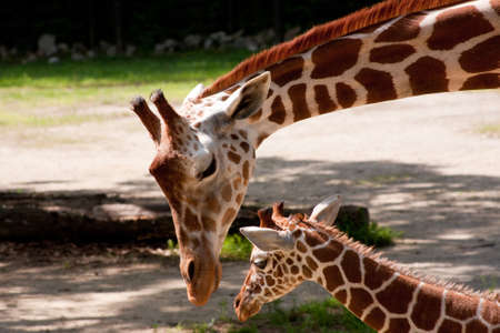 Mother Giraffe looking down at her baby Stock Photo
