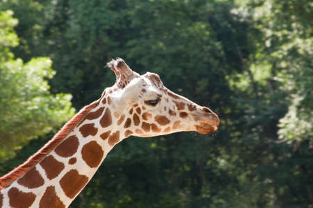 Giraffe closeup of his neck, head and face side view