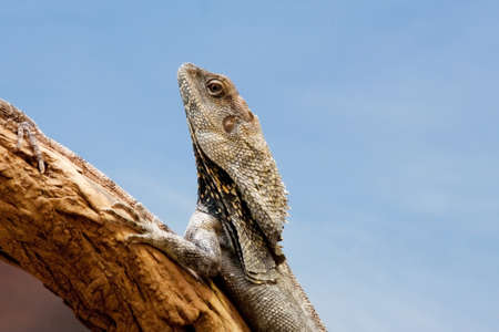 frilled: Closeup of a Frilled Dragon Lizard following another up a branch