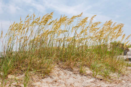Wind blowing through the seaoats in the sand on the beach