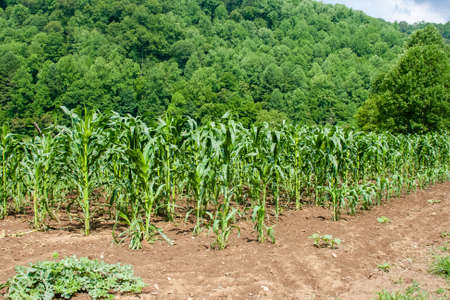 Corn field on a working farm in the mountains photo