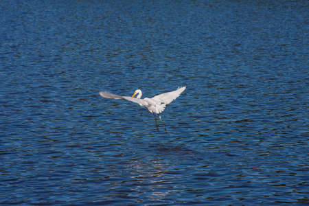 White Egret in flight over the water