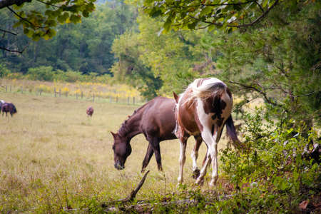 Horses playing and grazing in the pasture Stock Photo
