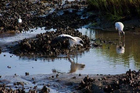 Wood Storks foraging for food at low tide
