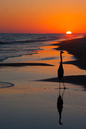 Silhouette of a bird and his reflection at sunset on the beach