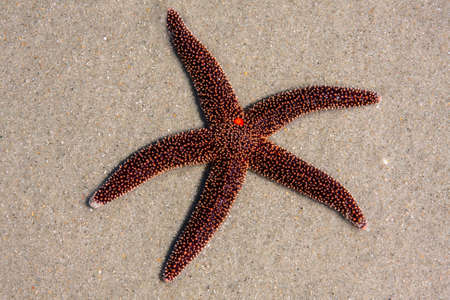 Fancy red starfish on the sand