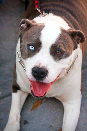 Pit Bull Dog with one blue eye and one brown eye photo
