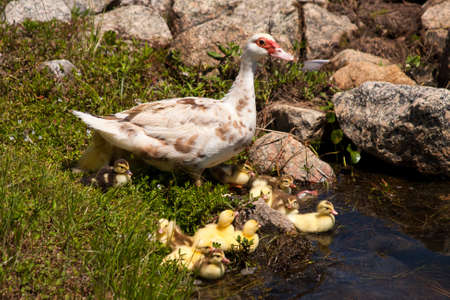 Mother duck with babies by the waters edge