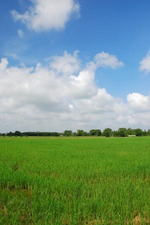 Rice field in blue sky photo