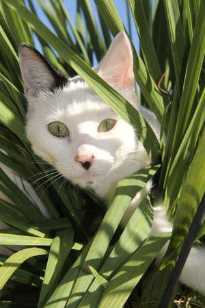 stalking: White cat stalking through the grass