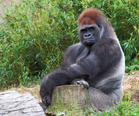 red-headed gorilla