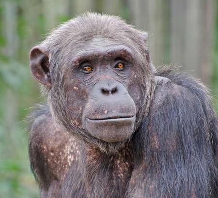 Chimpanzee with bright orange eyes