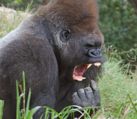Funny picture of a gorilla who looks like he is about to put his finger in his mouth and gag