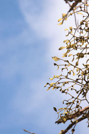 Close-up of a bunch of mistletoe (Viscum album),  on a clear blue sky background photo