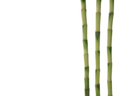 Lucky Bamboo isolated on white background photo