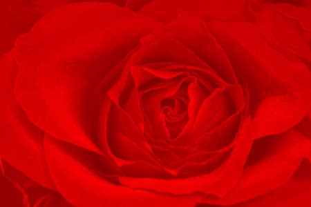 Rose red background - texture photo