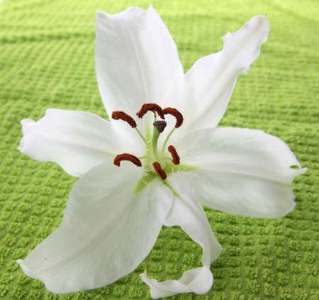 lilia: White lilia on green towel