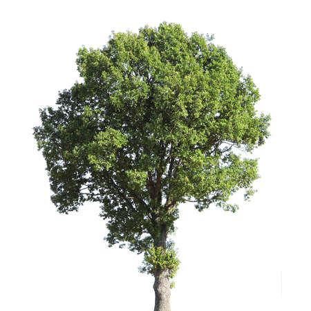 leafy trees: Nogal (nombre cient�fico: Juglans regia) aisladas sobre un fondo blanco.