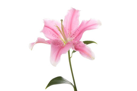 Pink lily isolated on white background Stock Photo - 5949805