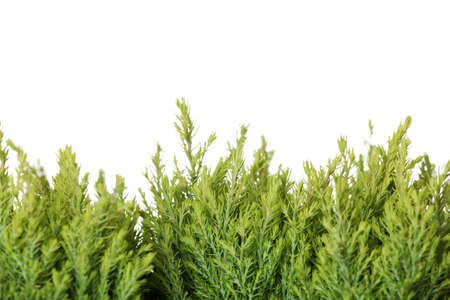 thuja: Thuja isolated on white background