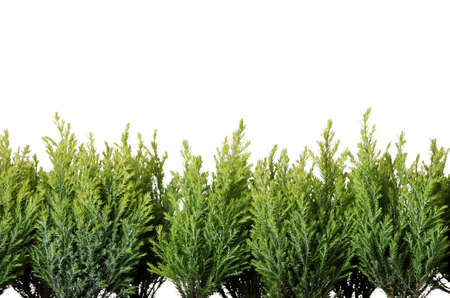 hedge plant: Thuja isolated on white background