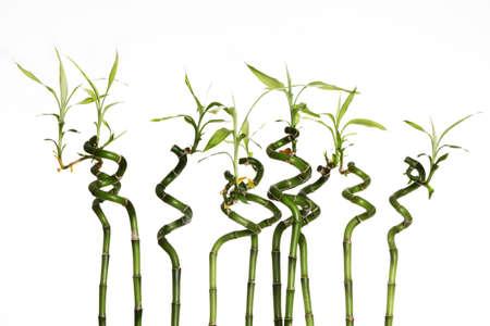twisted: Lucky bamboo plant (Dracaena sanderiana) against white background