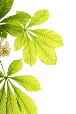 chestnut: Fresh chestnut leafs isolated on white background
