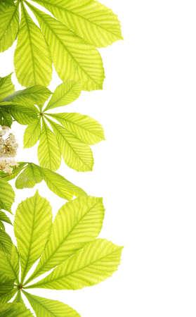 Fresh chestnut leafs isolated on white background