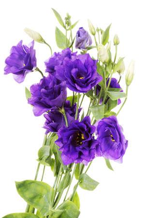 cerca: Eustoma Advantage flor púrpura (lisianthus), Gentianaceae, aislado en blanco Foto de archivo