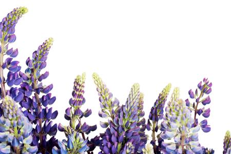 Garden lupine