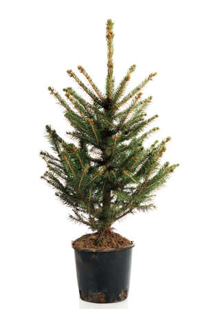 small real undecorated christmas tree in a pot stock photo 63186772 - Small Live Christmas Trees In Pots