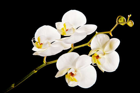 White orchid with yellow center Фото со стока