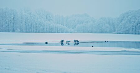 The fowl on frozen lake. Wild geese, swans, ducks are standing on ice in winter freeze day. Winter scene, white and blue colours. Still nature.