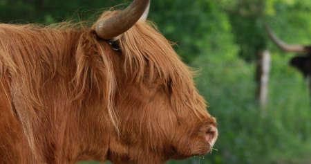 The shaggy cattle Reklamní fotografie