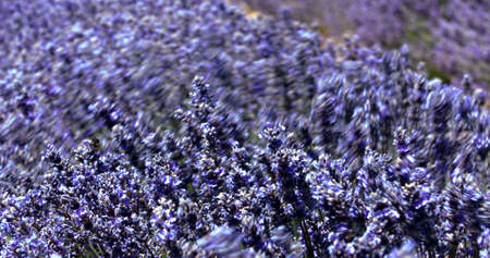 Close view of lavender blossom in Provence in France Фото со стока