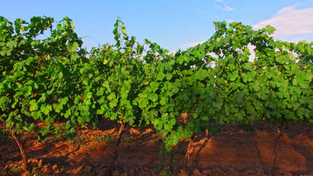 The drone fly between grape's bushes. The grape fruits are growing on branches. Agriculture and rural landscape.
