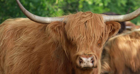 Movie with a shaggy cattle on field