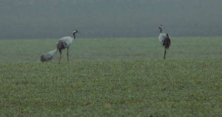 Common Cranes or Eurasian Cranes (Grus Grus) birds during migration to the North in the spring.