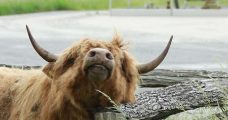 Scottish cow head with corners 版權商用圖片