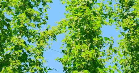 The high hop plants