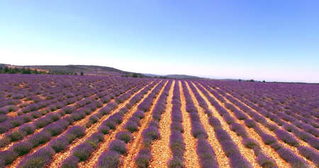 Landscape with lavender fields