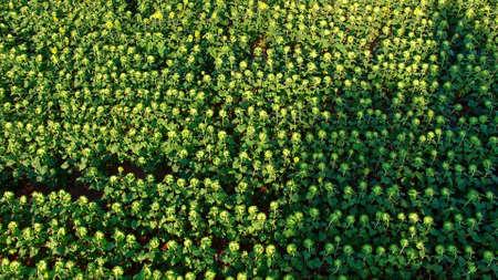 Sunflowers field from air 版權商用圖片