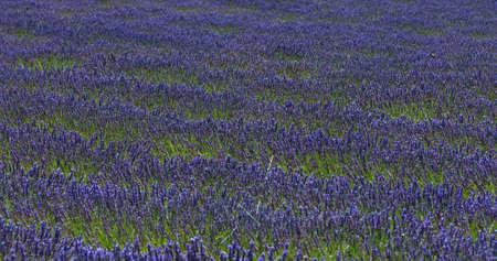 Purple laverder flowers in Provence in France - rural backgrund