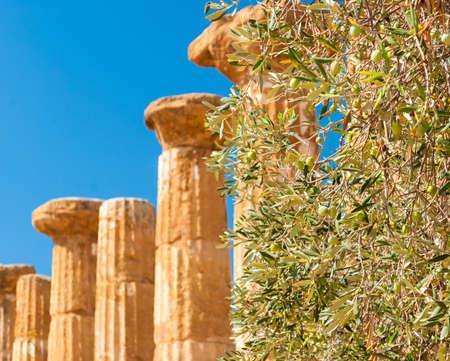 olivo arbol: Olivo con columnas en el fondo en el Valle de los Templos de Agrigento