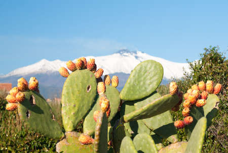 Prickly pear plant with fruits and volcano Etna covered with snow in background Stock Photo